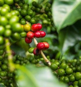 panama-varietal-special-coffee-2er-high-02